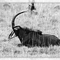Mbarapi by Douglas Barnard
