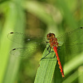 Meadowhawk Dragonfly by Michael Peychich