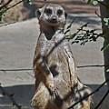 Meerkat 2 by Ernie Echols
