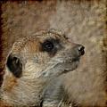Meerkat 3 by Ernie Echols