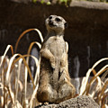 Meerkat Poser by David  Starnes