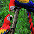 Meeting Of The Macaws  by Harry Spitz