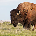 Mighty American Bison by Straublund Photography