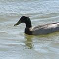 Millenia Duck by Warren Thompson