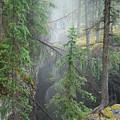 Mist Forest by Kim Blumenstein