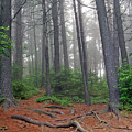 Misty Morning In An Algonquin Forest by Peter Pauer