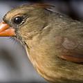 Miz Red Bird by Patricia Montgomery