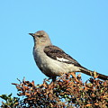 Mockingbird . 7682 by Wingsdomain Art and Photography