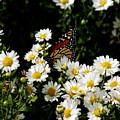 Monarch Butterfly by Gary Adkins