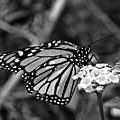Monarch Butterfly. by Jorge Gaete