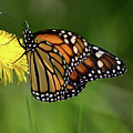 Monarch Butterfly by Vincent Duis