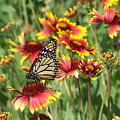 Monarch On Blanketflower by Peg Urban