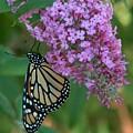Monarch On Butterfly Bush by Denise   Hoff