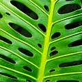 Monstera Leaf by Carlos Caetano