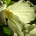 Morning Light - Trillium by Angie Rea