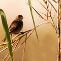 Morning Light Warbler by Don Durfee