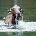 Mossy Moose by Gary Beeler