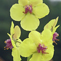 Moth Mullein Wildflowers - Verbascum Blattaria by Mother Nature