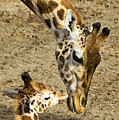 Mother Giraffe With Her Baby by Garry Gay
