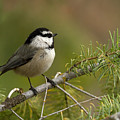 Mountain Chickadee by Beve Brown-Clark Photography