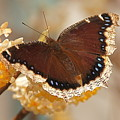 Mourning Cloak Butterfly by Byron Varvarigos