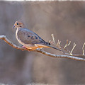Mourning Dove by David Waldrop