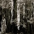 Muir Woods  by Sonja Anderson