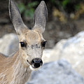 Mule Deer by Keith Lovejoy