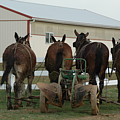 Mules At Rest by See Me Beautiful Photography