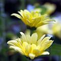 Mums In Bloom by Linda Ebarb