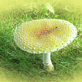 Mushroom - Amanita Muscaria Guessowii  by Mother Nature
