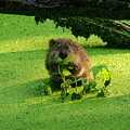 Muskrat Susie Or Muskrat Sam by Shelley Neff