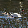 Mute Swan With Three Cygnets Following by Louise Heusinkveld