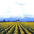Myriads Of Daffodils by Will Borden