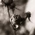 Mystic Rose by Marilyn Hunt