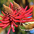 Naked Coral Tree Flower by Mariola Bitner
