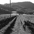 Napa Valley Vineyard .  Black And White . 7d9020 by Wingsdomain Art and Photography