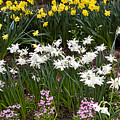 Narcissus And Daffodils In A Spring Flowerbed by Louise Heusinkveld