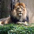 National Zoo - Luke - African Lion by Ronald Reid