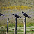 Neighborhood Watch Crows by Heather Coen