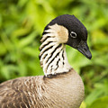 Nene Goose II by Ron Dahlquist - Printscapes