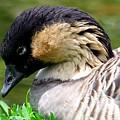 Nene Hawaii State Bird by Mary Deal