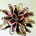 Neoregelia Painted Delight by Penrith Goff