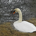 Nesting Swan by Dee Flouton