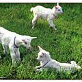 Newborn Goats by Joan  Minchak