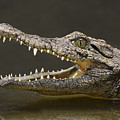 Nile Crocodile by Tony Beck