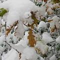 Oak Leaf by Maria Joy
