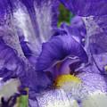 Office Art Prints Iris Flowers Purple White Irises 40 Giclee Prints Baslee Troutman by Baslee Troutman