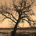 Old Crooked Tree Overlooking Mississippi River by Goldie Pierce
