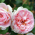 Old Fashioned Rose by Mary Haber